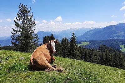 Die entspannte Kuh_400_267